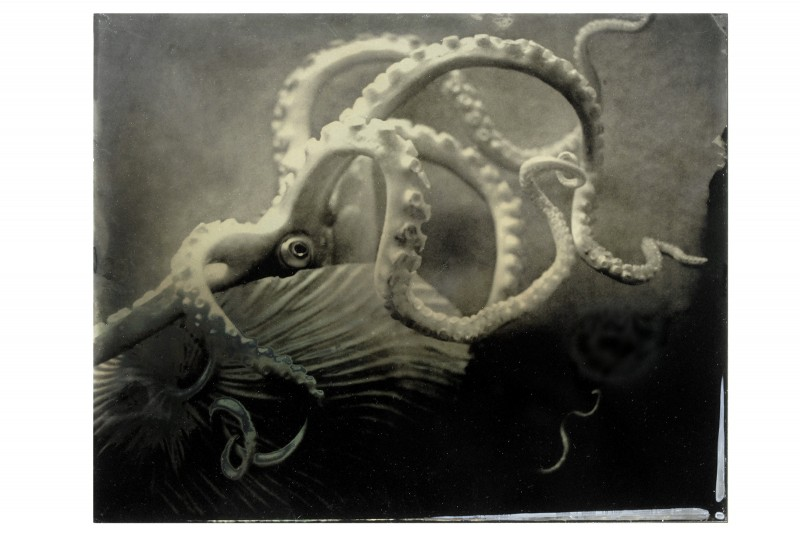 Cabinet of Curiosities_Octopus Tintype